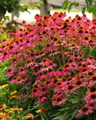 A hosszan virágzó kasvirág (Echinaceae)